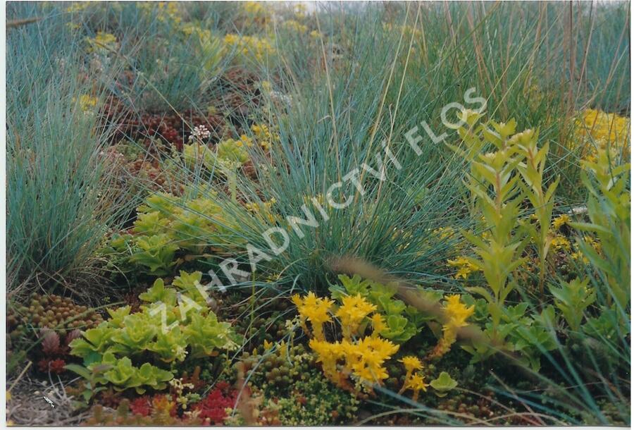 Koberec z rozchodníků a travin - Sedum a trávy - předpěstované rohože