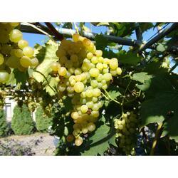 Réva vinná 'Besy' - Vitis vinifera 'Besy'