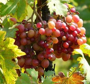 Réva vinná 'Ametyst' - Vitis vinifera 'Ametyst'
