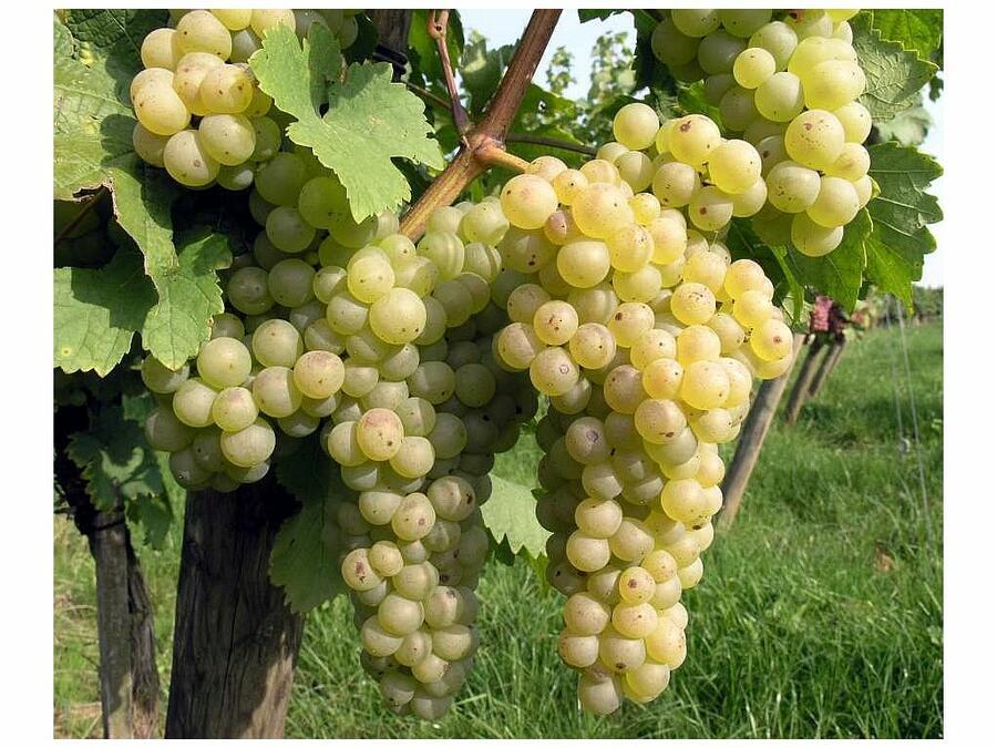 Réva vinná 'Chrupka bílá' - Vitis vinifera 'Chrupka bílá'