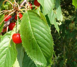 Třešeň ptačí - Prunus avium