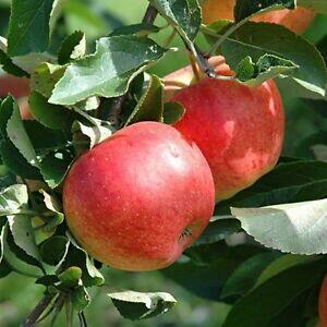 Jabloň domácí - Malus domestica