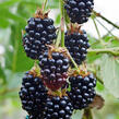 Ostružiník křovitý 'Black Satin' - Rubus fruticosus 'Black Satin'
