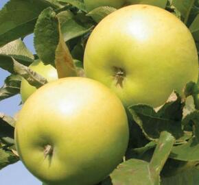 Jabloň zimní  'Goldlane' - Malus domestica 'Goldlane'