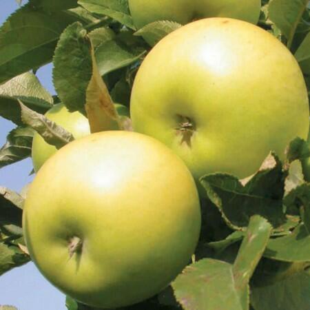 Jabloň zimní - sloupovitá 'Goldlane' - Malus domestica 'Goldlane'