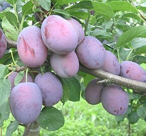 Renklóda - pozdní 'Wazanova' - Prunus domestica 'Wazanova'