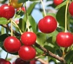 Višeň 'Favorit' - Prunus cerasus 'Favorit'