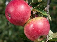 Jabloň domácí 'Red Spring' - Malus domestica 'Red Spring'
