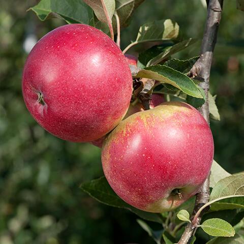 Jabloň - sloupovitá 'Red Spring' - Malus domestica 'Red Spring'