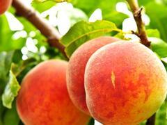 Broskvoň - středně raná 'Harbrite' - Prunus persica 'Harbrite'