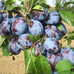 Pološvestka -  velmi raná 'Herman' - Prunus domestica 'Herman'