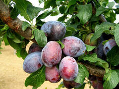 Pološvestka - pozdní 'Verity' - Prunus domestica 'Verity'