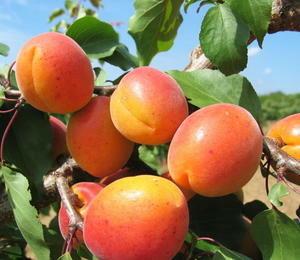 Meruňka poloraná 'Sundrop' - Prunus armeniaca 'Sundrop'