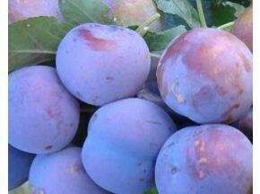 Švestlka japonská - myrobelán 'Dezertnaja' - Prunus 'Dezertnaja'