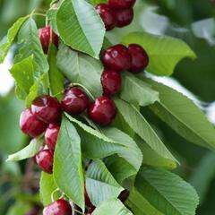Třešeň pozdní - chrupka 'Sylvia' - Prunus avium 'Sylvia'