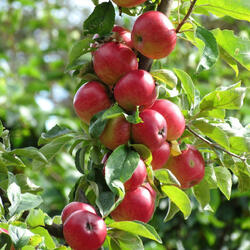 Jabloň podzimní - sloupovitá 'Maypole' - Malus domestica 'Maypole'