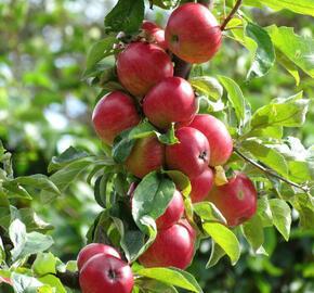Jabloň podzimní 'Maypole' - Malus domestica 'Maypole'