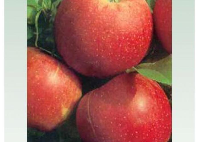 Jabloň zimní 'Šampion Red' - Malus domestica 'Šampion Red'