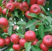 Jabloň zimní 'Red Topaz' - Malus domestica 'Red Topaz'