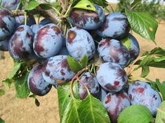 Pološvestka - velmi pozdní 'Valor' - Prunus domestica 'Valor'