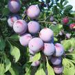 Renklóda - raná 'Oulinská' - Prunus domestica 'Oulinská'