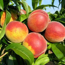 Broskvoň - středně raná 'Sunhaven' - Prunus persica 'Sunhaven'