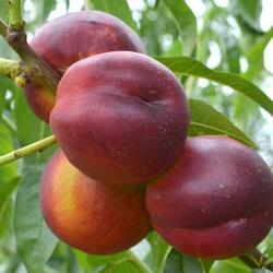 Nektarinka - středně raná 'Harco' - Prunus persica 'Harco'