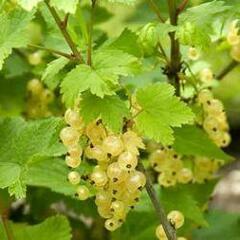 Rybíz bílý 'Witte Hollander' - Ribes rubrum 'Witte Hollander'