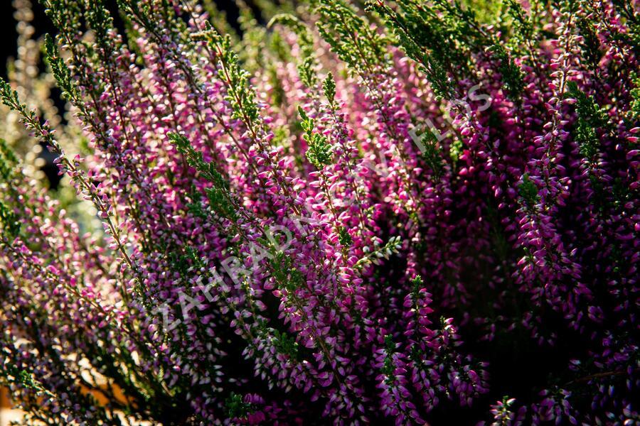 Vřes obecný 'Lilli' (Garden girls®) - Calluna vulgaris 'Lilli' (Garden girls®)