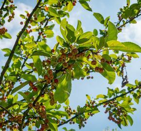Okrasná jabloň 'Doldo' - Malus 'Doldo'