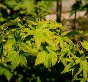 Javor dlanitolistý 'Going Green' - Acer palmatum 'Going Green'