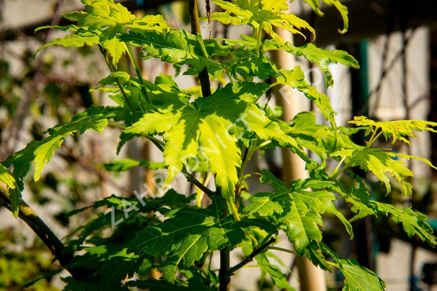Javor dlanitolistý 'Going Green' - Acer palmatum 'Going Green'