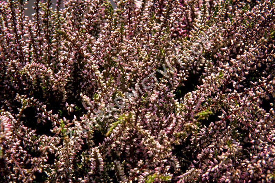 Vřes obecný 'Lena' (Garden girls®) - Calluna vulgaris 'Lena' (Garden girls®)
