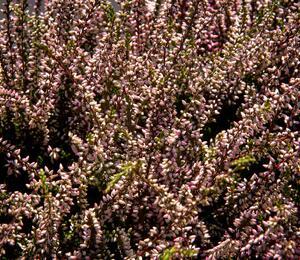 Calluna vulgaris 'Lenai' (Garden girls®) - Calluna vulgaris 'Lena' (Garden girls®)