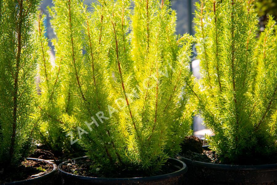 Vřesovec stromovitý - Erica arborea mix