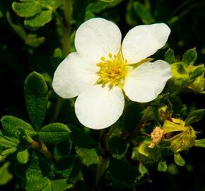 Mochna křovitá 'McKay's White' - Potentilla fruticosa 'McKay's White'