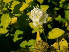 Tavolník japonský 'White Gold' - Spiraea japonica 'White Gold'