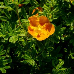 Mochna křovitá 'Sunset' - Potentilla fruticosa 'Sunset'