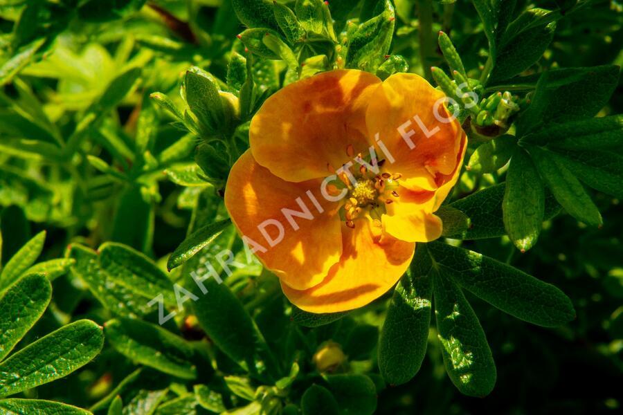 Mochna křovitá 'Sunset' - Potentilla fruticosa 'Sunset'