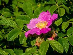 Růže svraskalá 'Rubra' - Rosa rugosa 'Rubra'