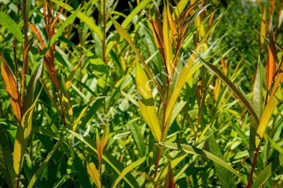 Vrba bílá 'Chermesina' - Salix alba 'Chermesina'