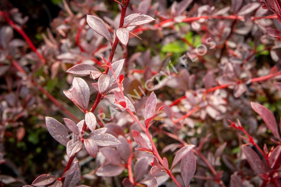 Dřišťál Thunbergův 'Red Chief' - Berberis thunbergii 'Red Chief'