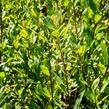 Vrba ušatá - Salix aurita