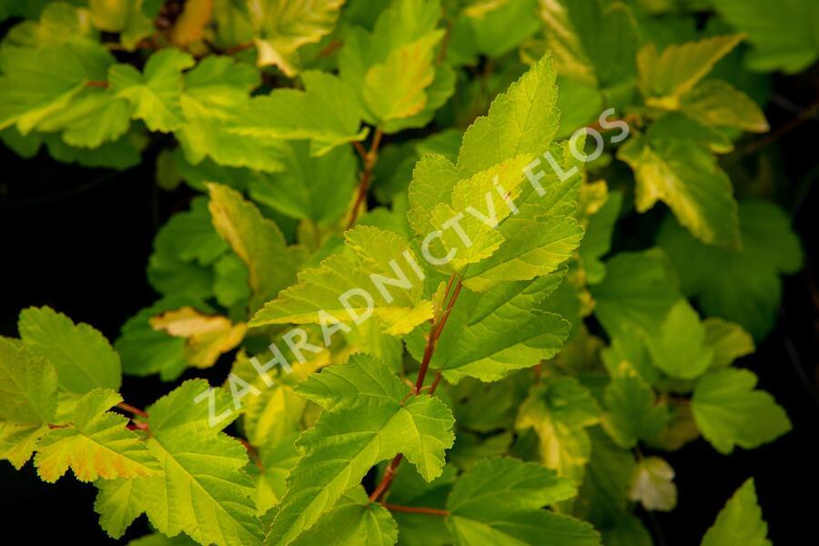 Tavola kalinolistá 'Nugget' - Physocarpus opulifolius 'Nugget'