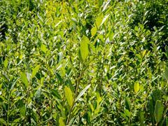 Vrba popelavá - Salix cinerea