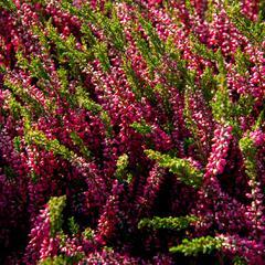 Vřes obecný 'Loki' (Garden girls®) - Calluna vulgaris 'Loki' (Garden girls®)