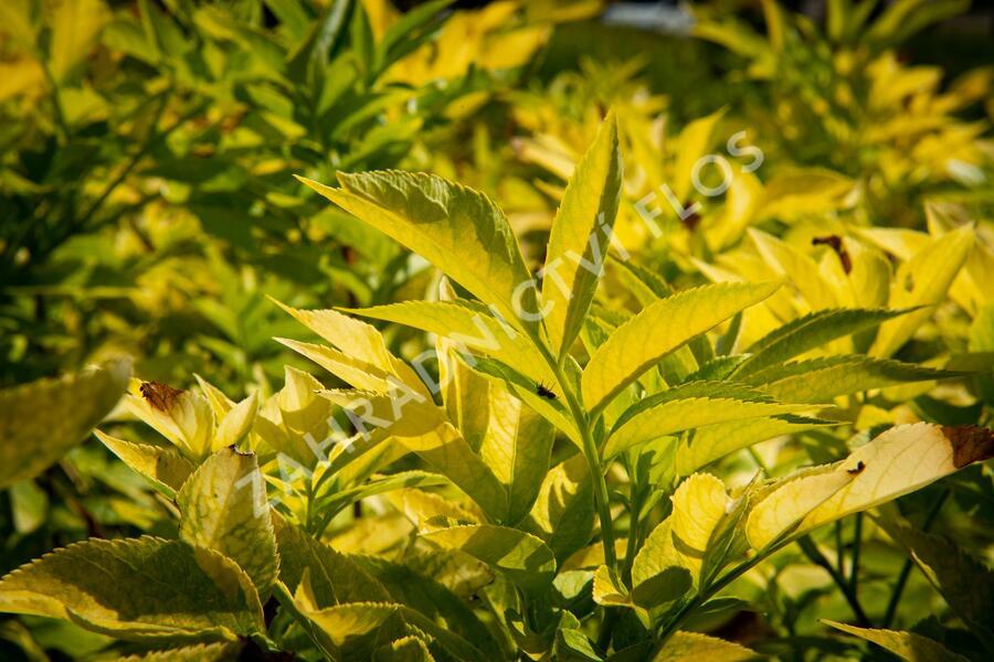 Bez černý 'Aurea' - Sambucus nigra 'Aurea'