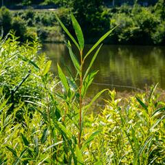 Vrba bílá 'Vitellina' - Salix alba 'Vitellina'