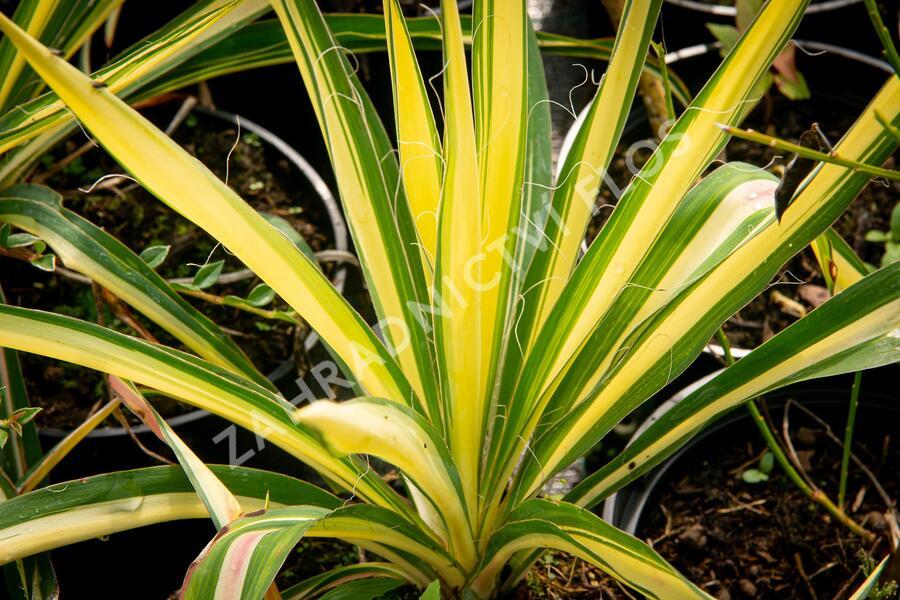 Juka vláknitá 'Color Guard' - Yucca filamentosa 'Color Guard'