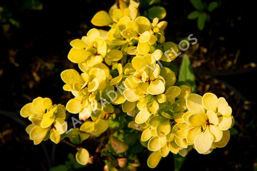 Dřišťál Thunbergův 'Golden Torch' - Berberis thunbergii 'Golden Torch'